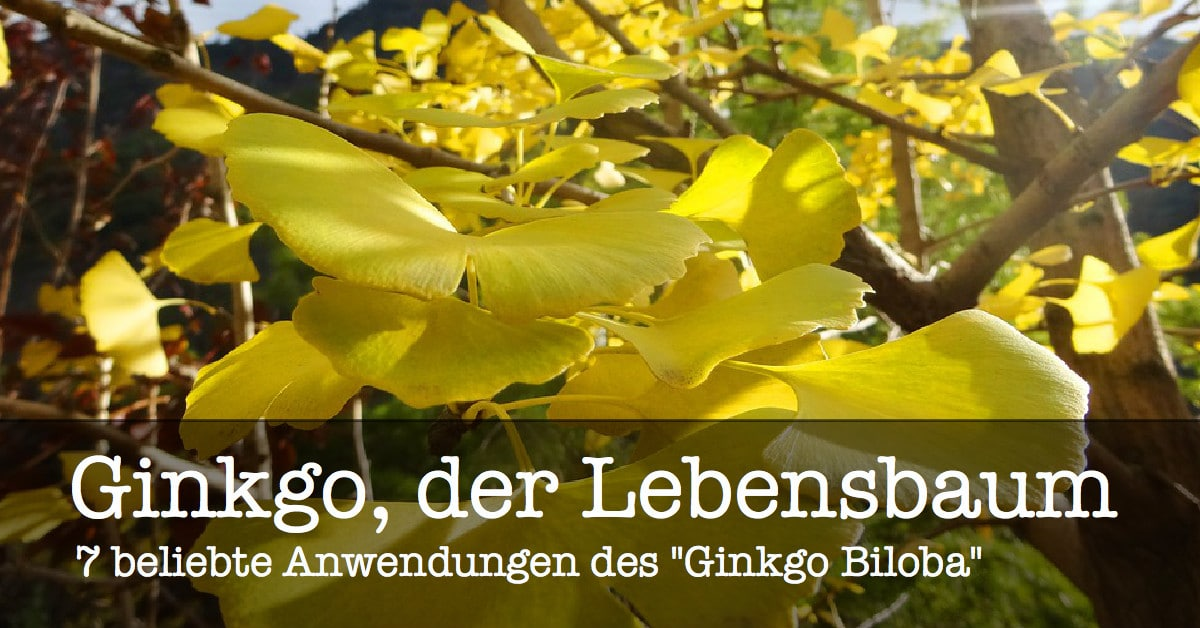 Lebensbaum Ginkgo